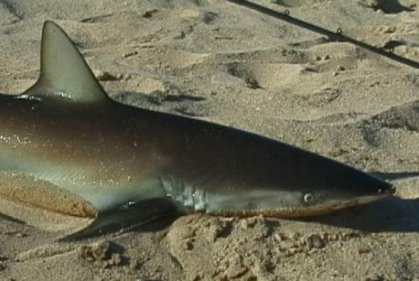 Reel1in sportfishing for Shark fishing from shore